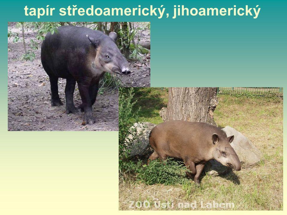 tapír středoamerický, jihoamerický