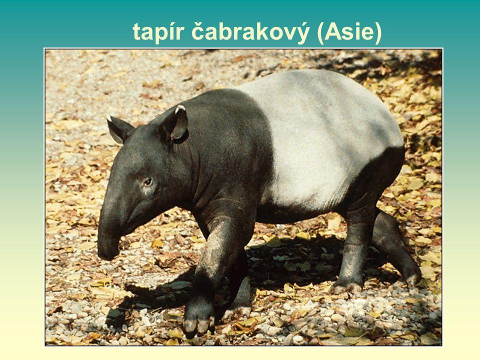tapír čabrakový (Asie)