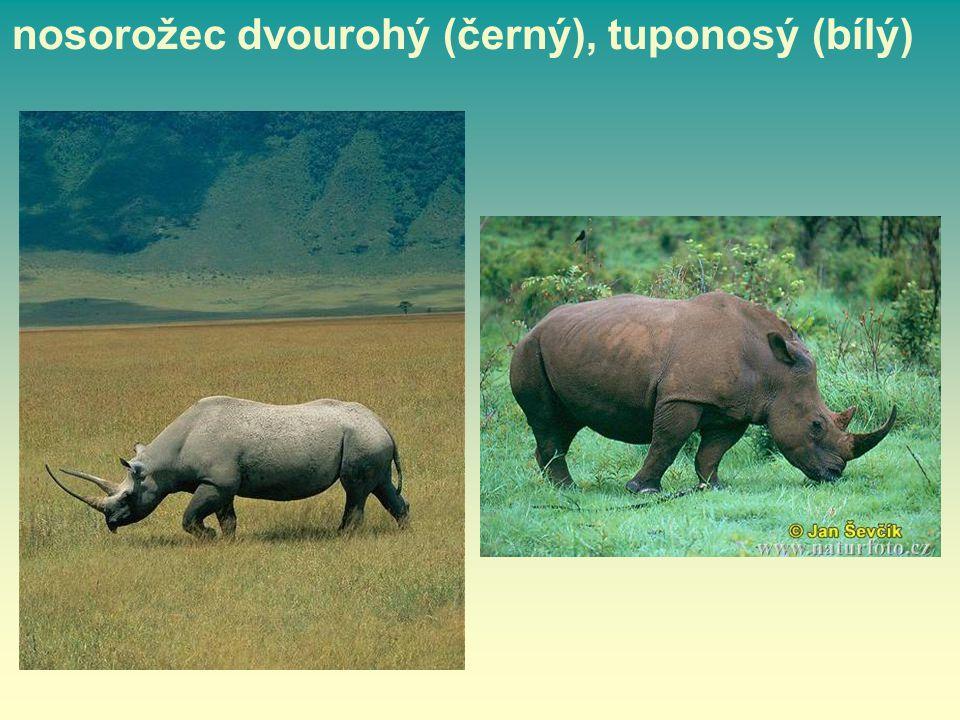 nosorožec dvourohý (černý), tuponosý (bílý)