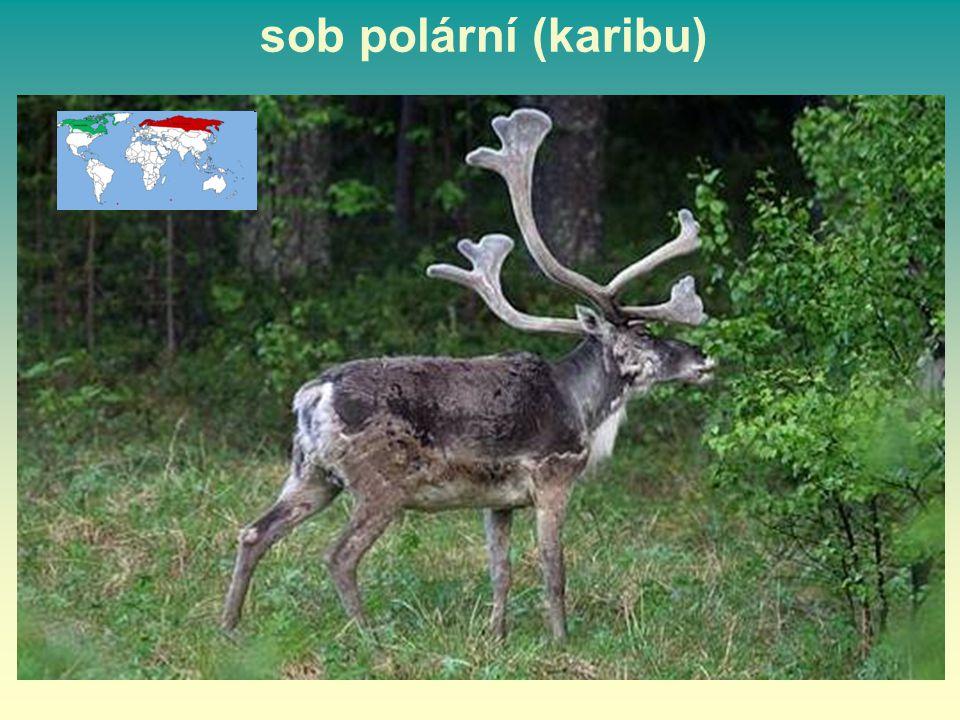 sob polární (karibu) 31 31