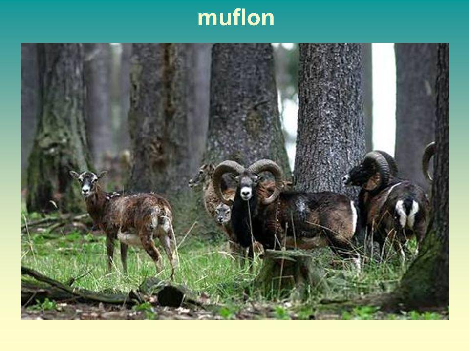 muflon 33 33
