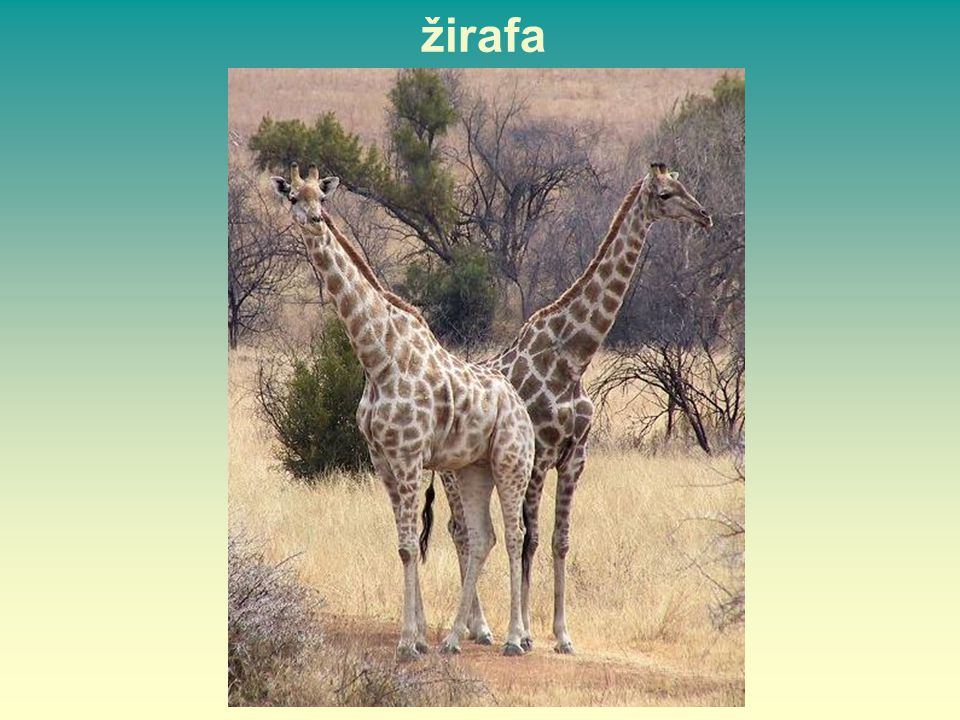žirafa 36 36