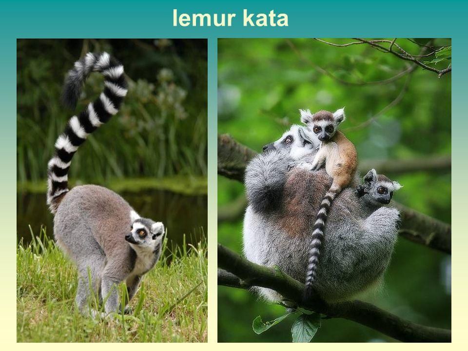 lemur kata 40 40