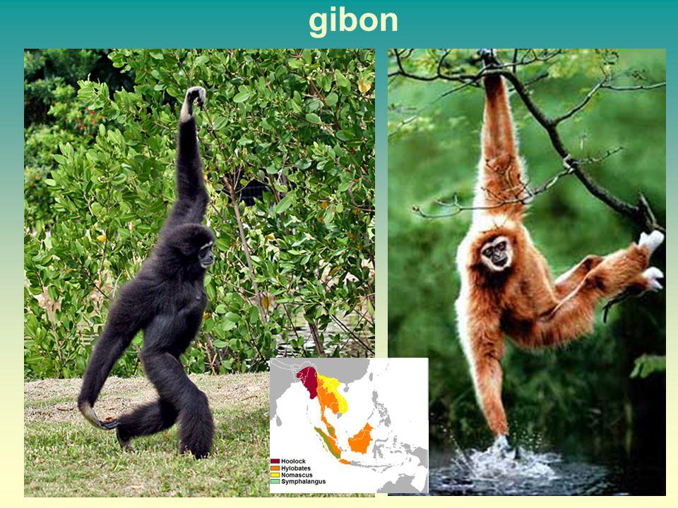 gibon 46 46