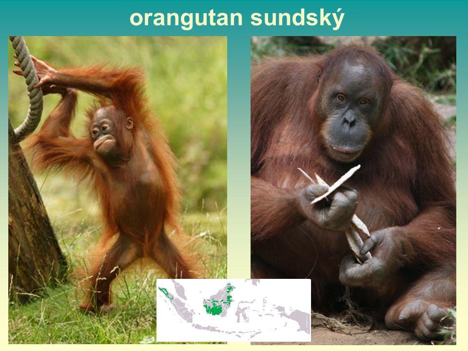 orangutan sundský 49 49