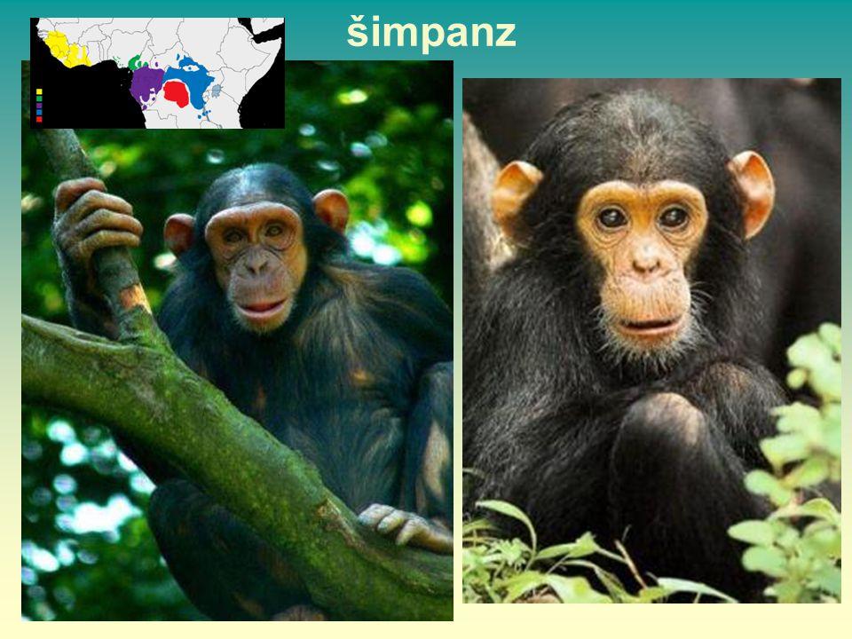 šimpanz 50 50