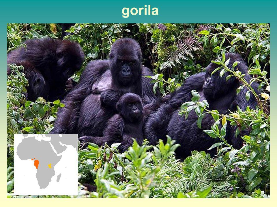 gorila 51 51
