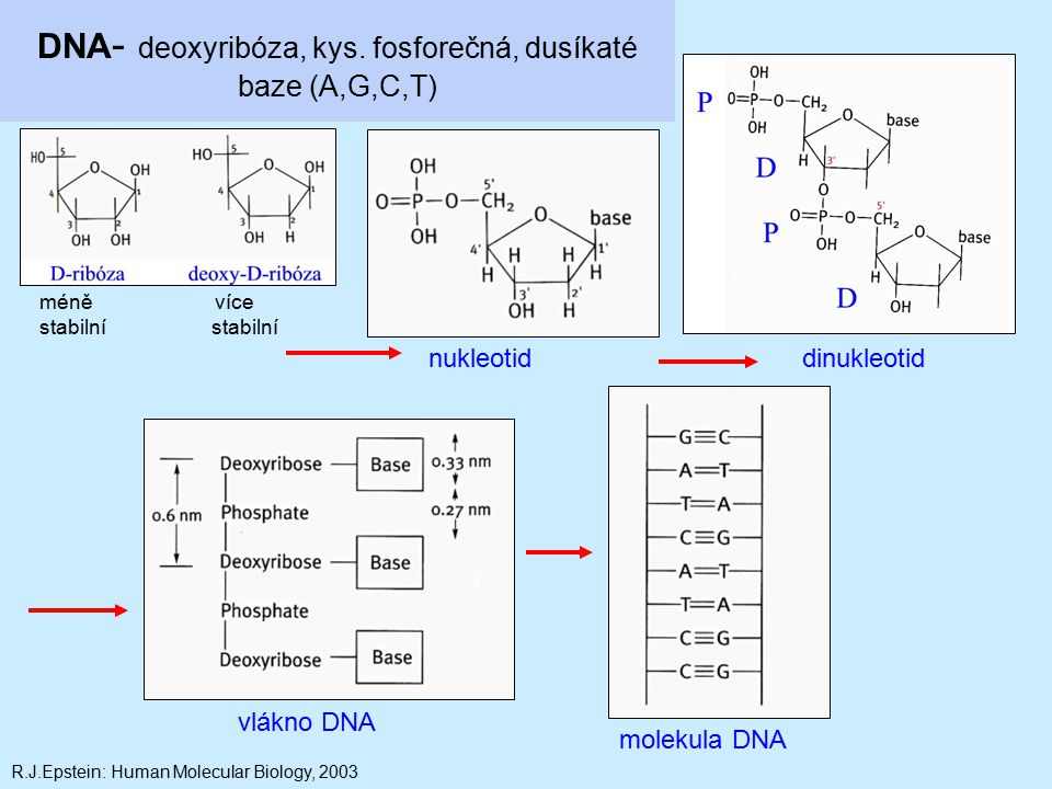 DNA- deoxyribóza, kys. fosforečná, dusíkaté baze (A,G,C,T)