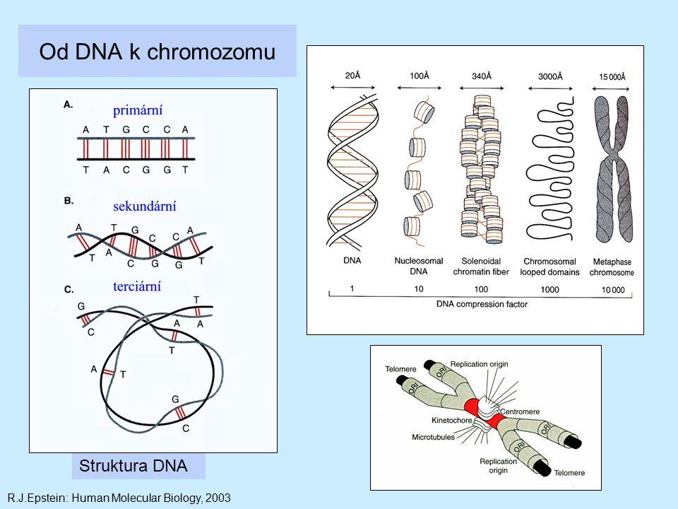 Od DNA k chromozomu Struktura DNA
