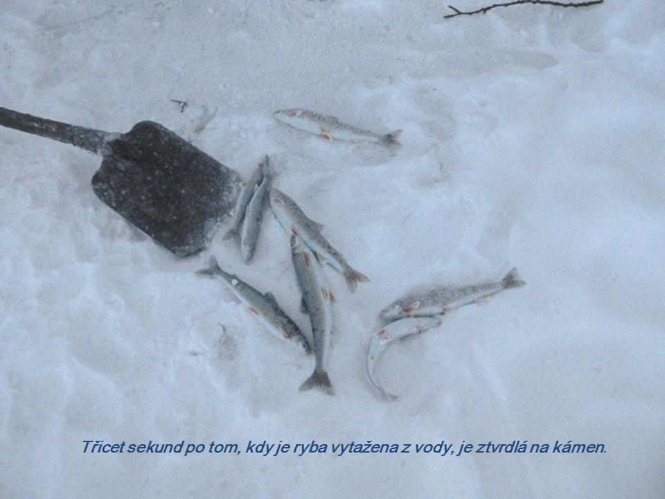 Třicet sekund po tom, kdy je ryba vytažena z vody, je ztvrdlá na kámen.