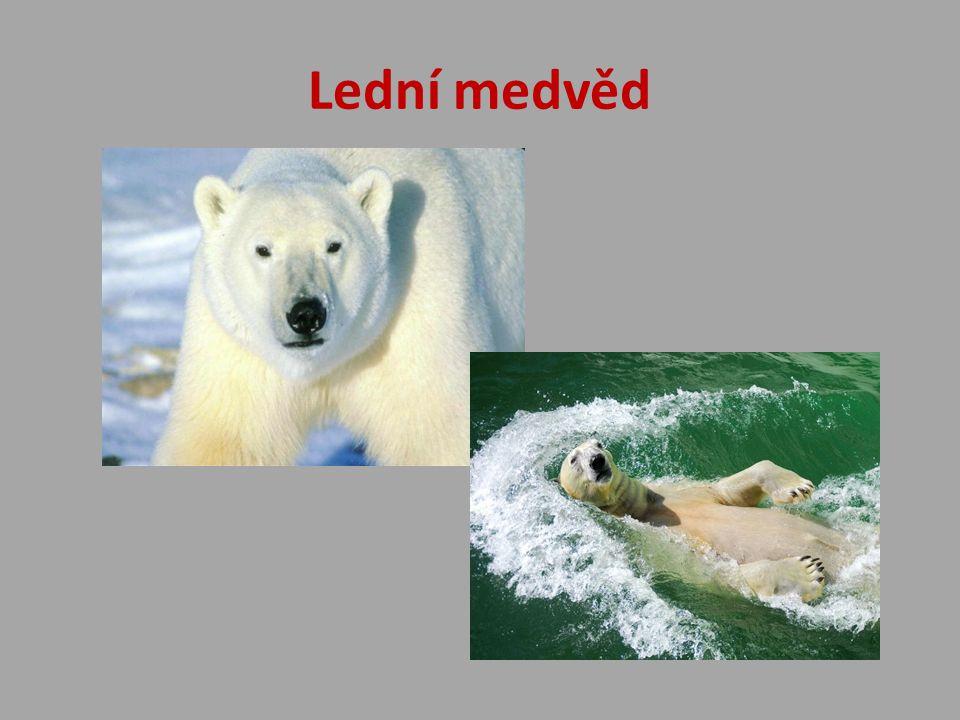 Lední medvěd