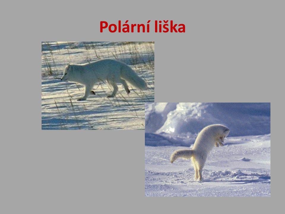 Polární liška