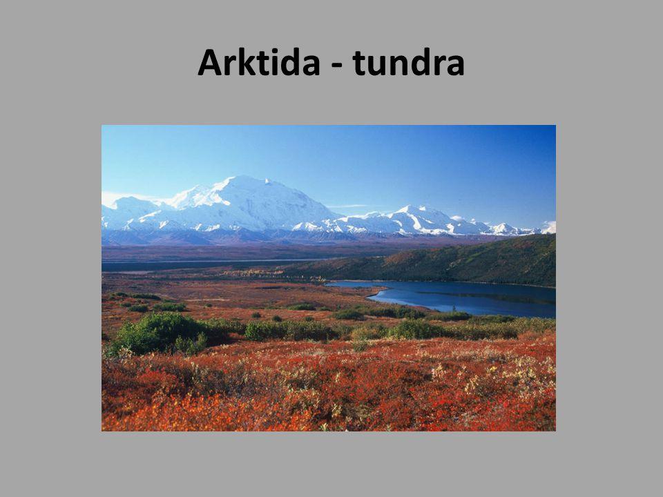 Arktida - tundra