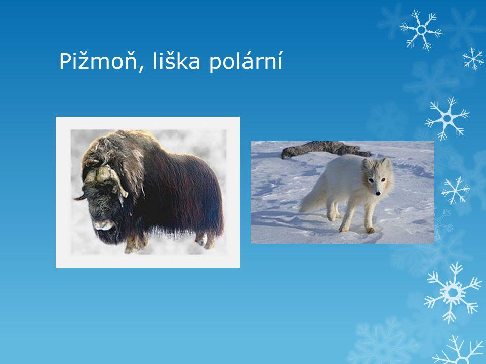 Pižmoň, liška polární