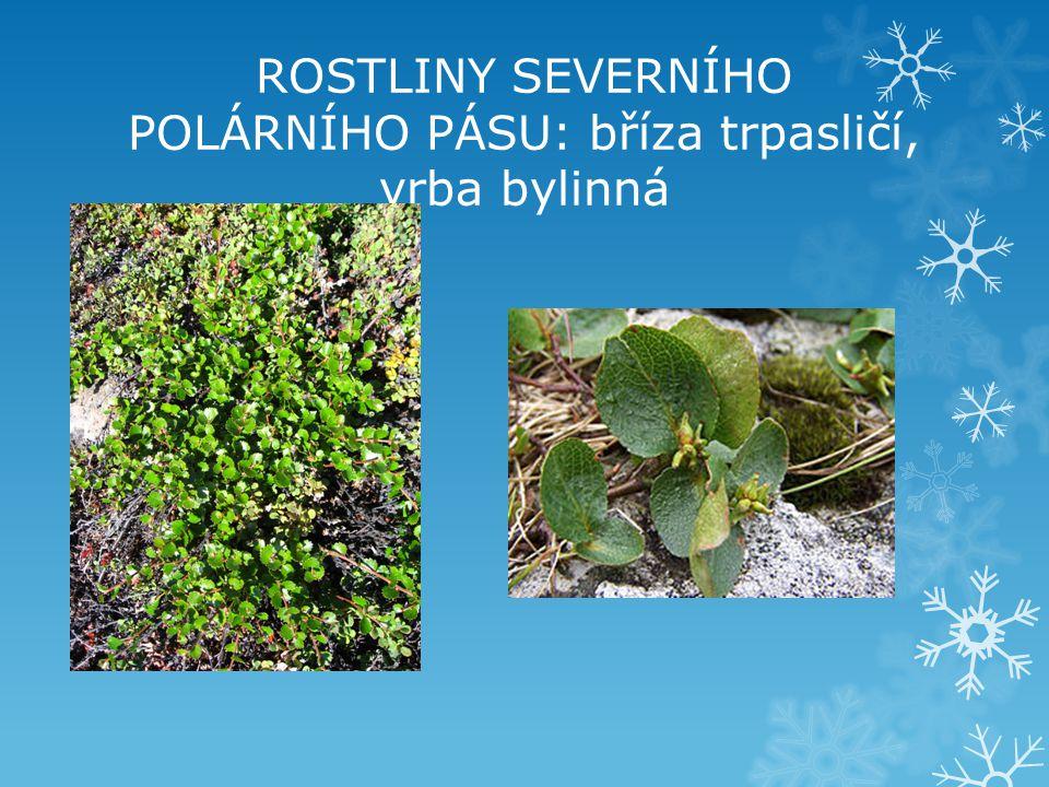 ROSTLINY SEVERNÍHO POLÁRNÍHO PÁSU: bříza trpasličí, vrba bylinná