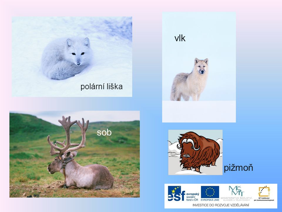vlk polární liška sob pižmoň