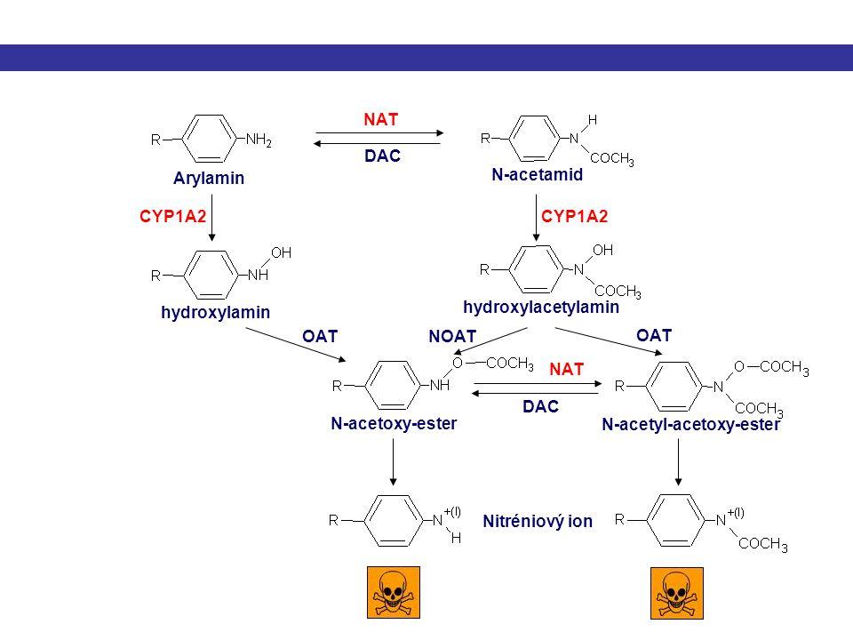 NAT DAC. Arylamin. N-acetamid. CYP1A2. CYP1A2. hydroxylacetylamin. hydroxylamin. OAT. NOAT.