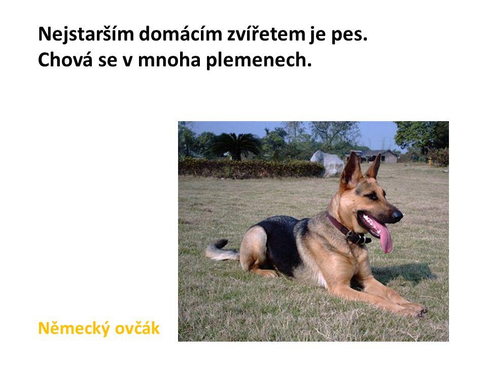 Nejstarším domácím zvířetem je pes. Chová se v mnoha plemenech.