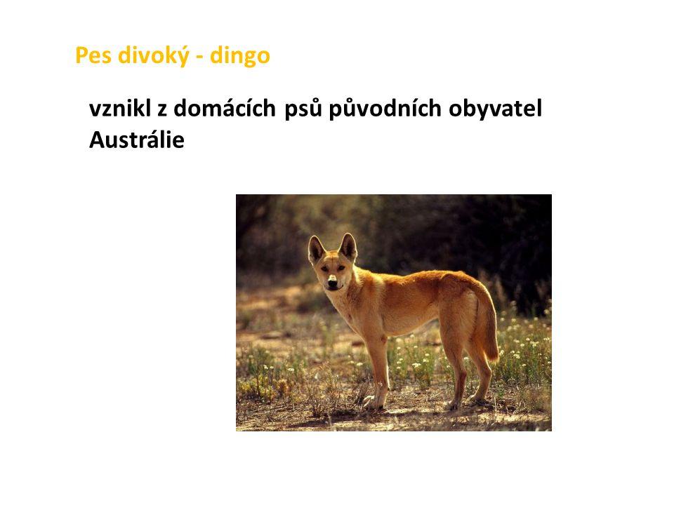 Pes divoký - dingo vznikl z domácích psů původních obyvatel Austrálie