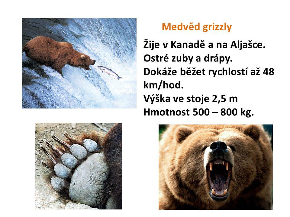 Medvěd grizzly Žije v Kanadě a na Aljašce. Ostré zuby a drápy. Dokáže běžet rychlostí až 48 km/hod.