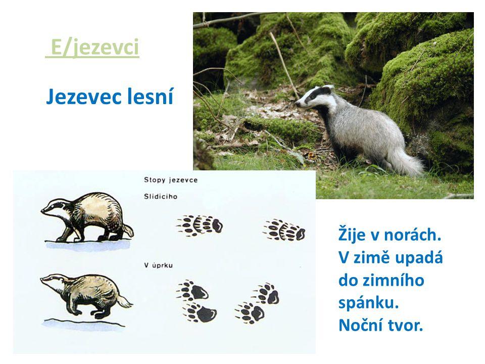 E/jezevci Jezevec lesní Žije v norách. V zimě upadá do zimního spánku.