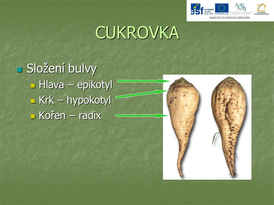 CUKROVKA Složení bulvy Hlava – epikotyl Krk – hypokotyl Kořen – radix