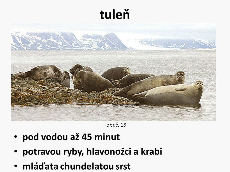 tuleň pod vodou až 45 minut potravou ryby, hlavonožci a krabi
