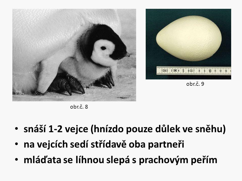 snáší 1-2 vejce (hnízdo pouze důlek ve sněhu)