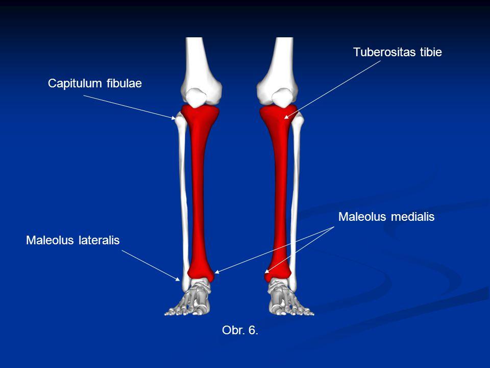 Obr. 6. Tuberositas tibie Capitulum fibulae Maleolus medialis Maleolus lateralis