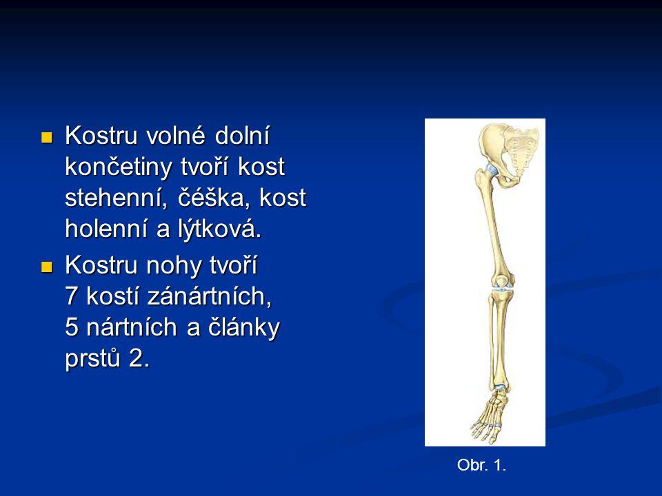 Kostru nohy tvoří 7 kostí zánártních, 5 nártních a články prstů 2.