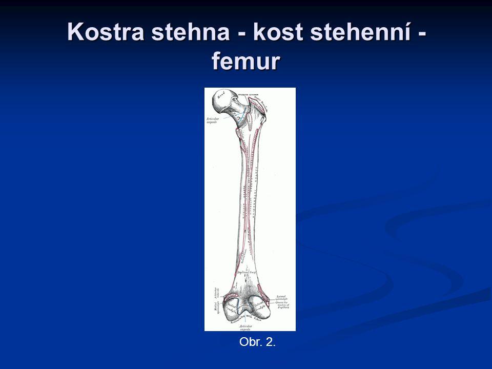 Kostra stehna - kost stehenní - femur