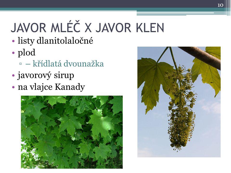 JAVOR MLÉČ X JAVOR KLEN listy dlanitolaločné plod javorový sirup