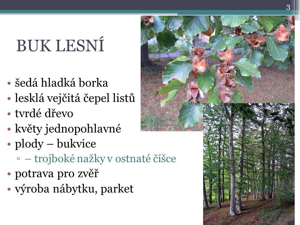 BUK LESNÍ šedá hladká borka lesklá vejčitá čepel listů tvrdé dřevo