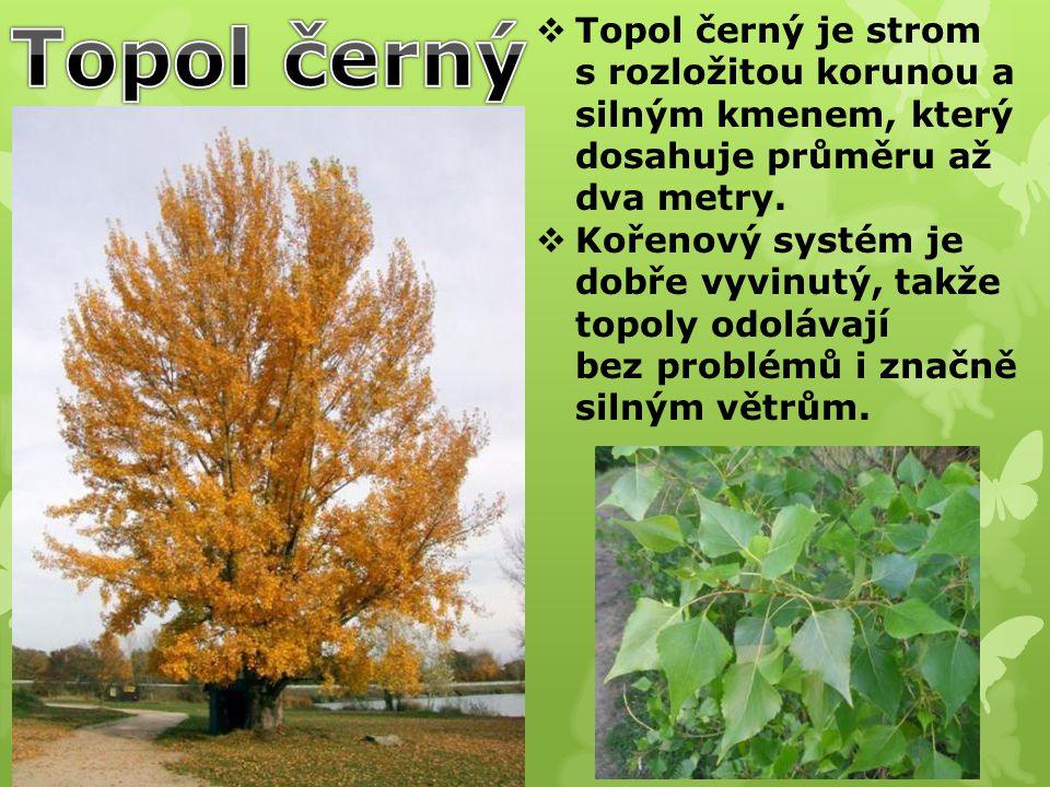 Topol černý Topol černý je strom s rozložitou korunou a silným kmenem, který dosahuje průměru až dva metry.