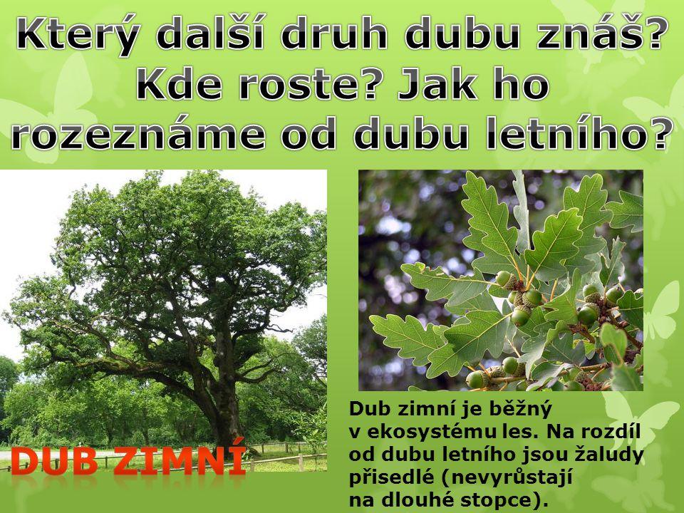 Který další druh dubu znáš