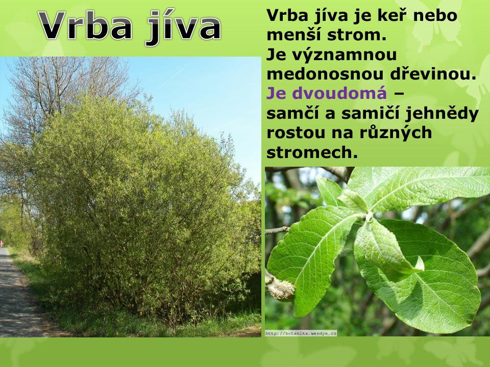 Vrba jíva Vrba jíva je keř nebo menší strom.