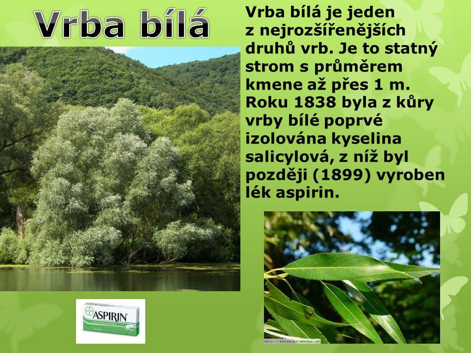 Vrba bílá Vrba bílá je jeden z nejrozšířenějších druhů vrb. Je to statný strom s průměrem kmene až přes 1 m.