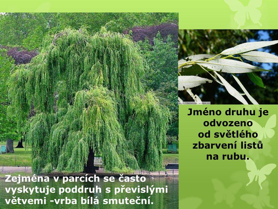 Jméno druhu je odvozeno od světlého zbarvení listů na rubu.