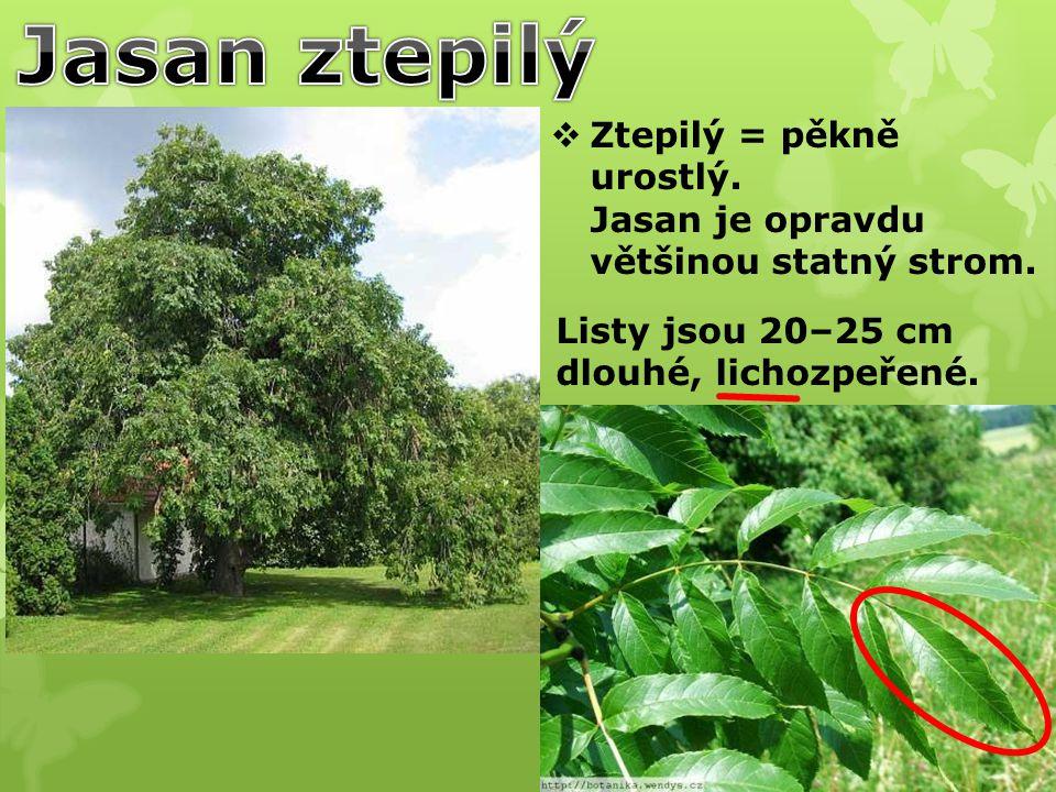 Jasan ztepilý Ztepilý = pěkně urostlý. Jasan je opravdu většinou statný strom.