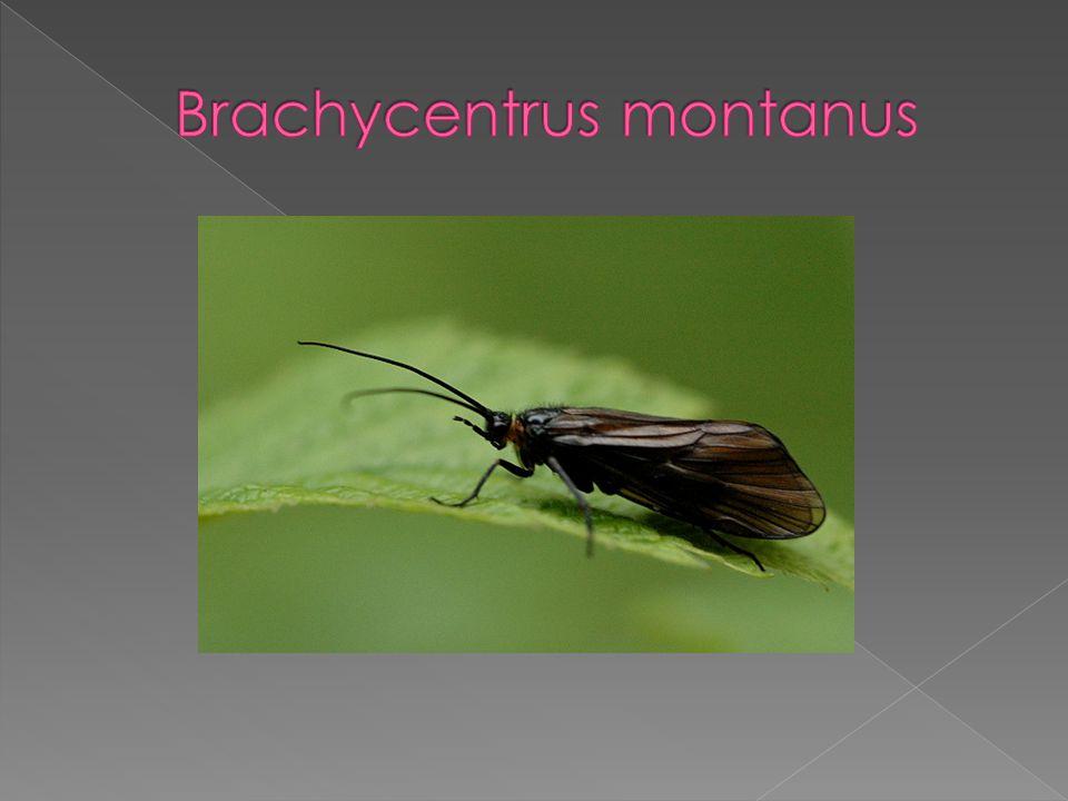 Brachycentrus montanus