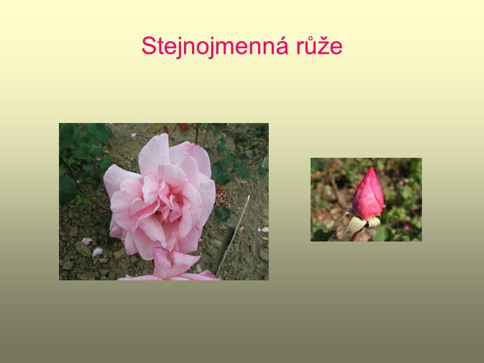 Stejnojmenná růže