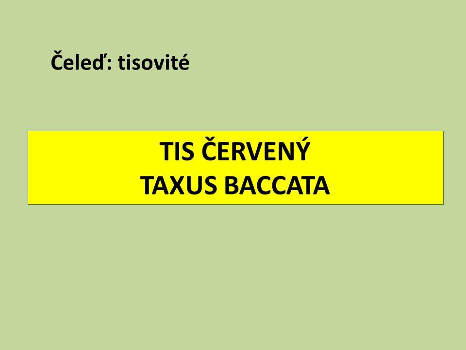 TIS ČERVENÝ TAXUS BACCATA
