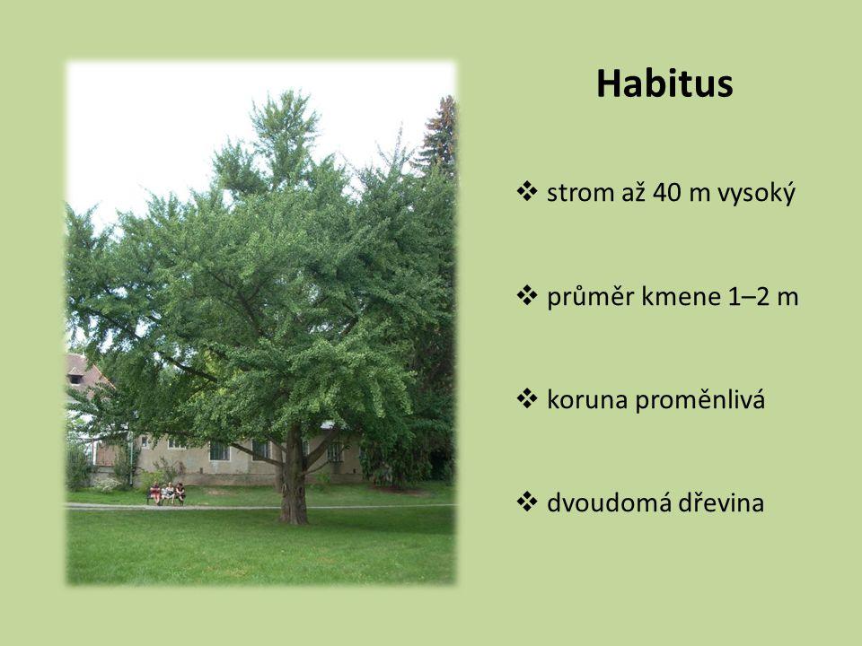 Habitus strom až 40 m vysoký průměr kmene 1–2 m koruna proměnlivá