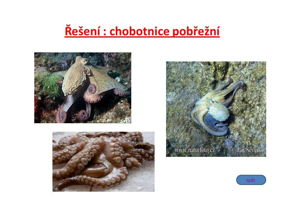Řešení : chobotnice pobřežní