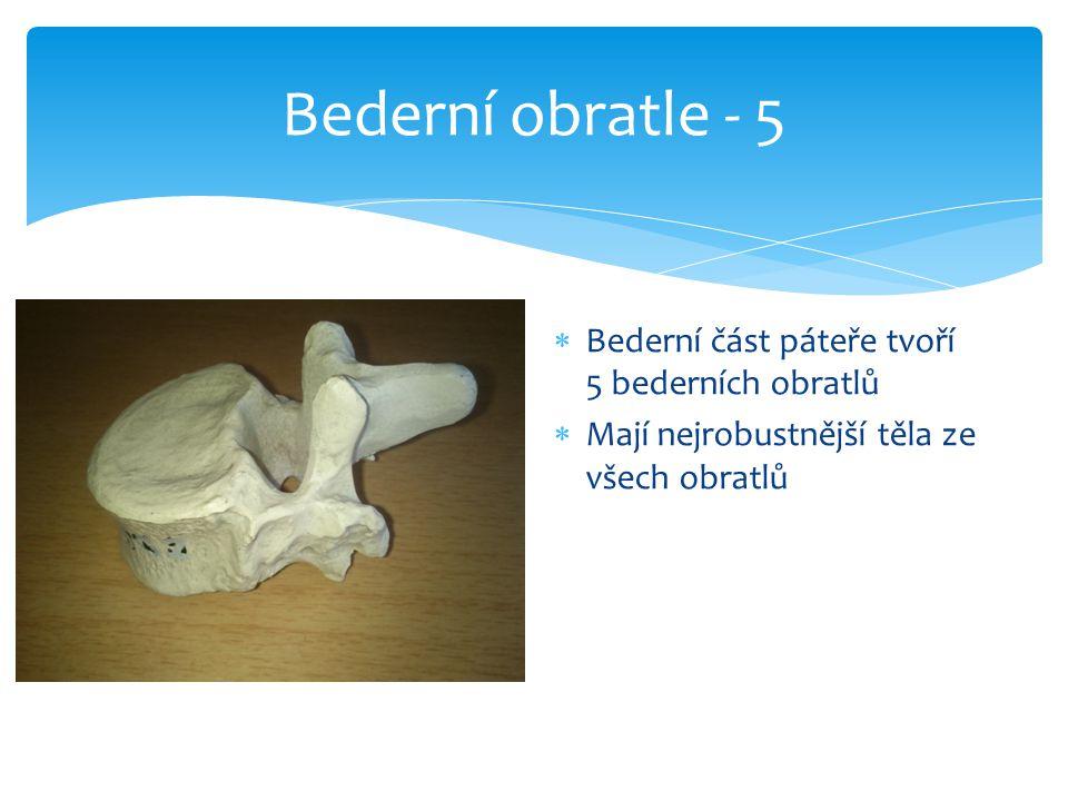 Bederní obratle - 5 Bederní část páteře tvoří 5 bederních obratlů