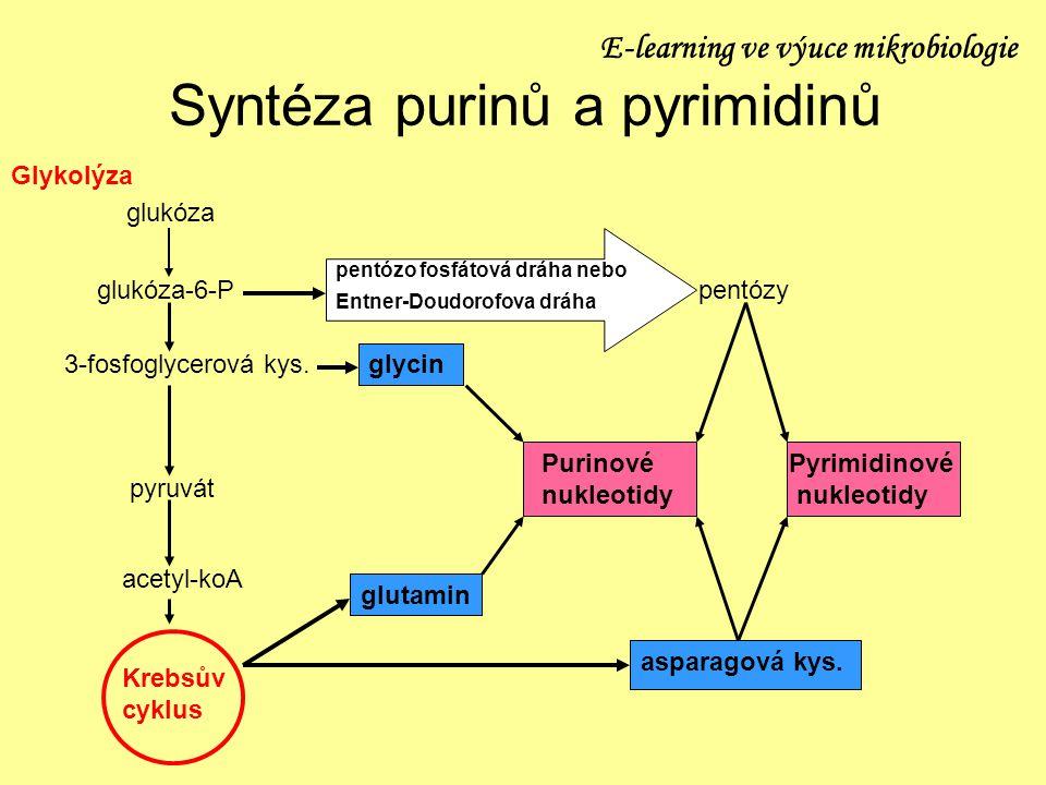 Syntéza purinů a pyrimidinů