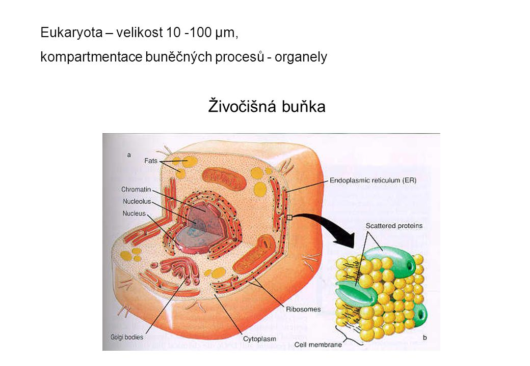 Živočišná buňka Eukaryota – velikost 10 -100 µm,
