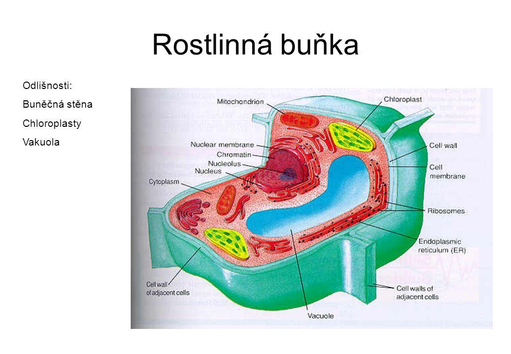 Rostlinná buňka Odlišnosti: Buněčná stěna Chloroplasty Vakuola