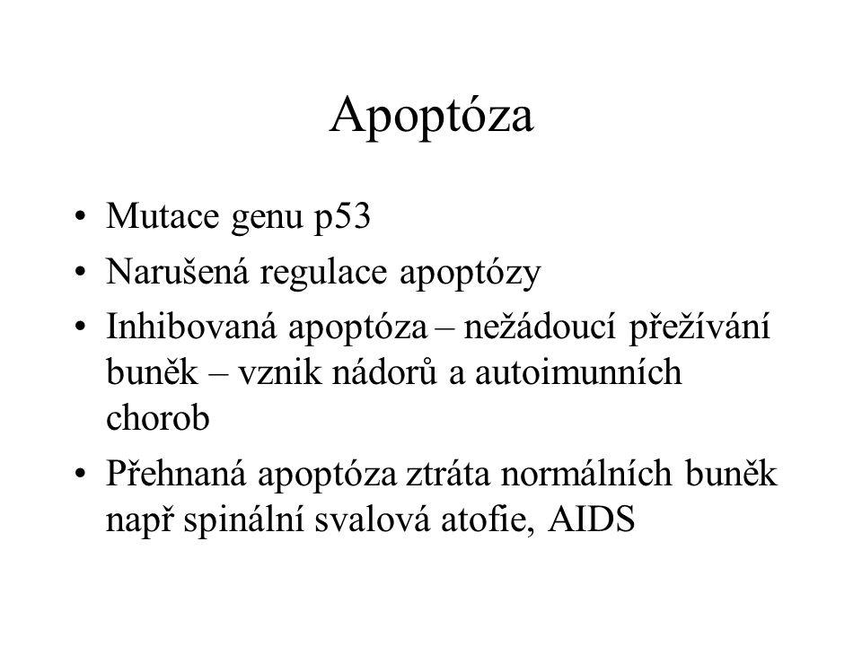 Apoptóza Mutace genu p53 Narušená regulace apoptózy