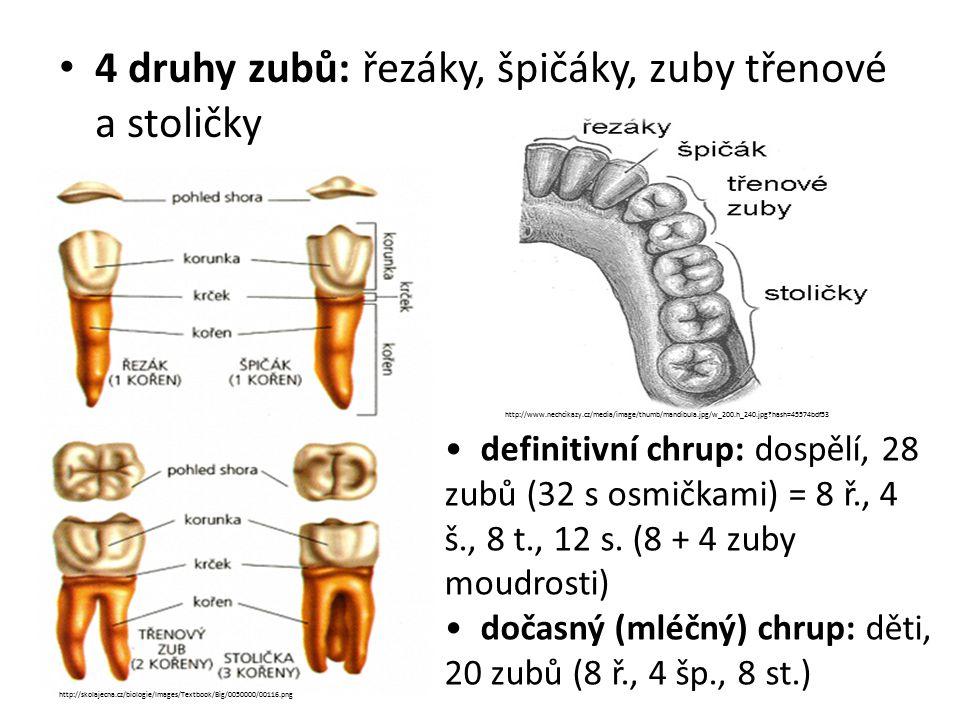 4 druhy zubů: řezáky, špičáky, zuby třenové a stoličky